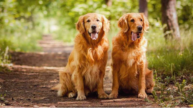 You Can Now Get Paid £32k To Look After Two Gold Retrievers And We're In
