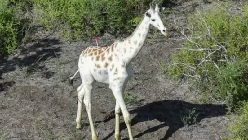 World's Only White Giraffe Is Fitted With GPS Tracking In A Bid To protect Him From Poachers