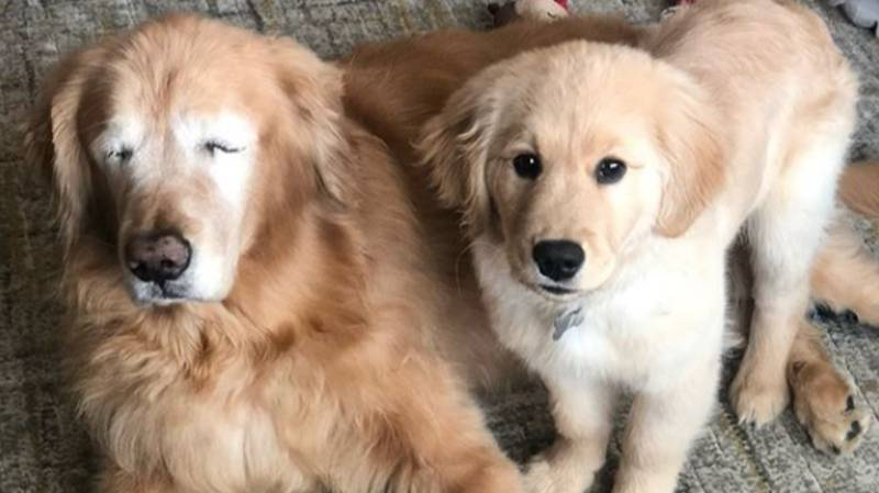 Gorgeous Blind Golden Retriever Has His Own Guide Dog And Best Friend