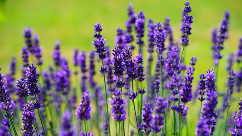 Everyone Is Going To This Insta Worthy Lavender Farm