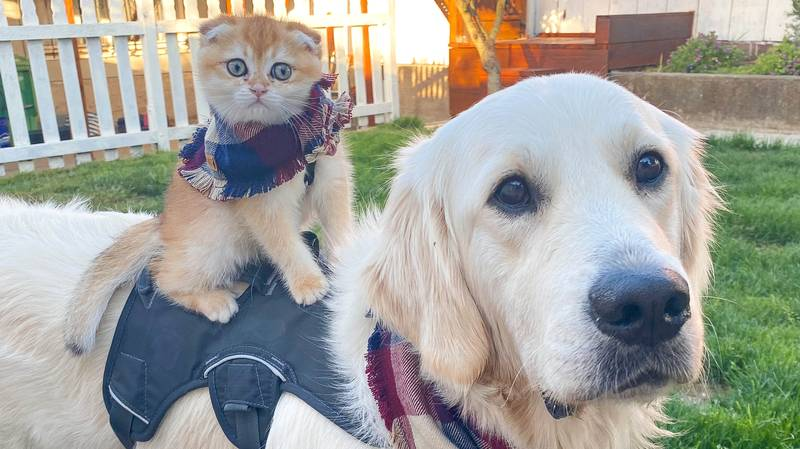 A Golden Retriever Strikes Up Adorable Bond With Six-Month Old Kitten