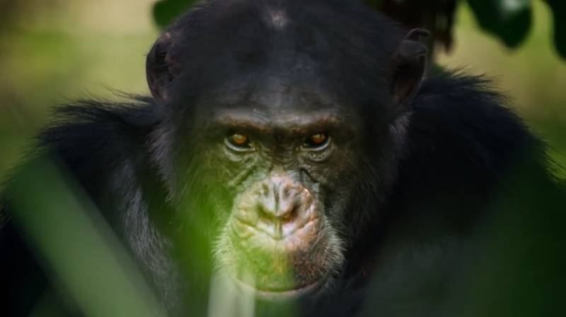 Chimp From David Attenborough's Dynasties Found Dead After Filming