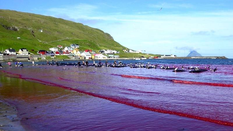 Sea Turns Red As 250 Whales And Dolphins Are Slaughtered In One Day At Faroe Islands