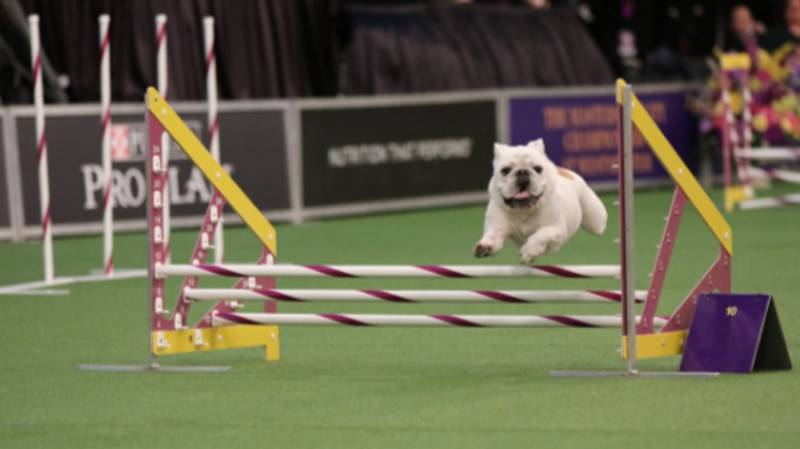 This Little Bulldog Has Become A Viral Sensation After Absolutely Smashing An Agility Course