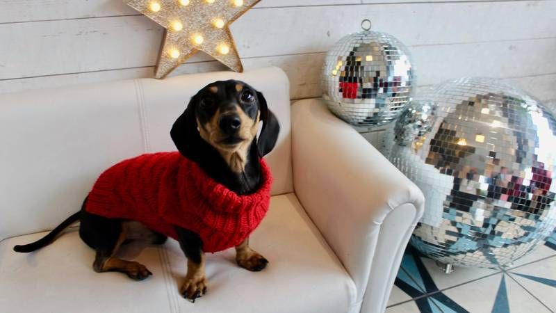 ​A Sausage Dog Disco Is Coming And It Sounds So Much Fun