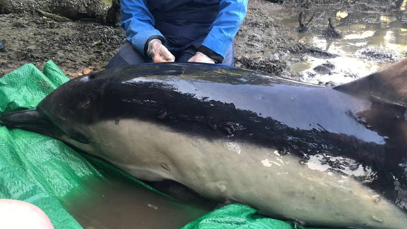 A Dolphin Stuck In A River Is Saved After Five Hour Rescue Mission