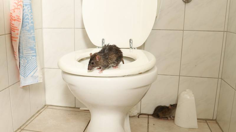Plague Of Rats Are Invading UK Homes Through Toilets And Letterboxes