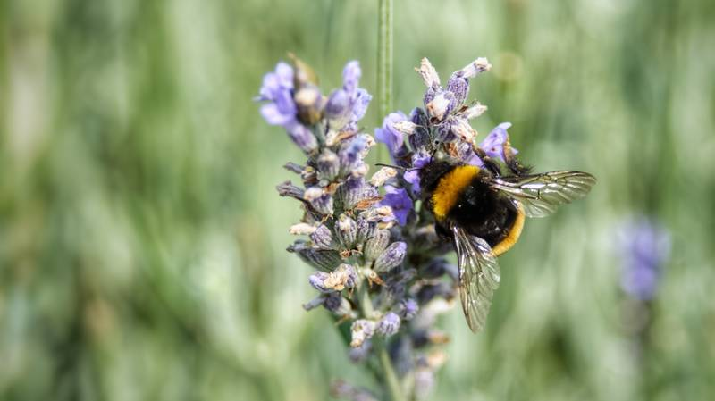 Bumblebees Under Threat Of Extinction As Deadly Pesticide Approved For Use In England