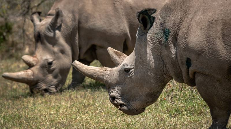 Hope For Near-Extinct White Rhinos As Seven Eggs From Last Remaining Females Are Fertilised