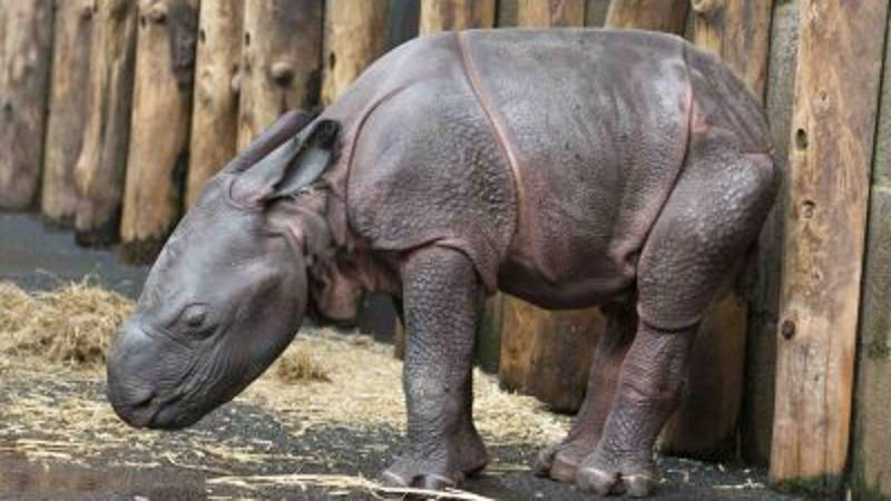 Indian Rhino Born At British Safari Park For First Time In Its 47 Year History