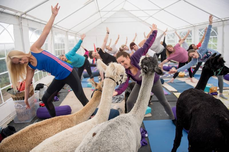 You Can Now Do Yoga In A Field Full Of Alpacas In Cumbria And Honestly It's The Dream