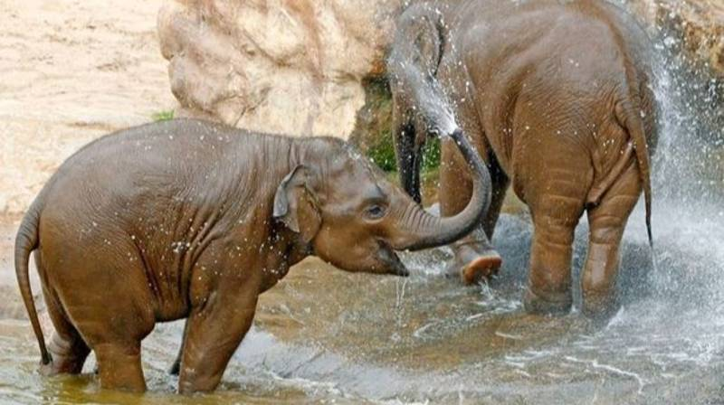 Chester Zoo's Elephants Are Having A Pool Party Today And You're Invited